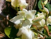 yuca Foto de archivo libre de regalías