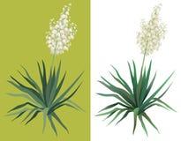 Yuca de la planta floreciente Imagenes de archivo