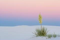 Yuca de la puesta del sol en las arenas blancas Foto de archivo libre de regalías