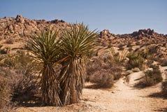 Yuca del desierto Fotos de archivo