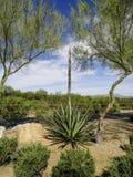 Yuca floreciente Foto de archivo