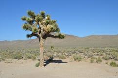 Yuca grande en Joshua Tree Fotografía de archivo libre de regalías