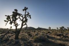 Yucas en el desierto imagen de archivo libre de regalías