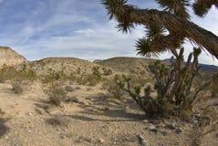 Yucas en el desierto del sudoeste Imagenes de archivo