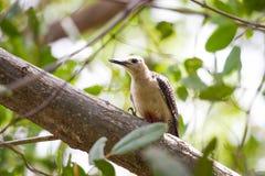 Yucatan δρυοκολάπτης στο δέντρο Στοκ Εικόνες