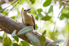 Yucatan δρυοκολάπτης στο δέντρο Στοκ εικόνα με δικαίωμα ελεύθερης χρήσης