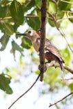 Yucatan δρυοκολάπτης στο δέντρο Στοκ φωτογραφία με δικαίωμα ελεύθερης χρήσης