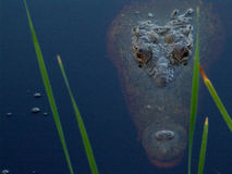 Yucatan alligator. Mexico mayan alligator in pond Royalty Free Stock Images