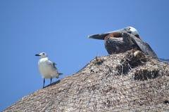 Yucatan för faunor för pelikanAlbatros fåglar tropisk exot Arkivfoto