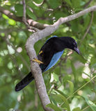 Yucatan Jay in a Jungle Tree. A bright blue and black Yucatan Jay bird in a tree in the dense of jungle near the Mayan ruins of Tulum, Mexico Stock Photo
