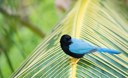 Yucatan Jay on palm branch in Mexico Royalty Free Stock Photo