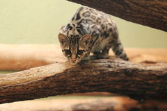Yucatan margay Royalty Free Stock Images