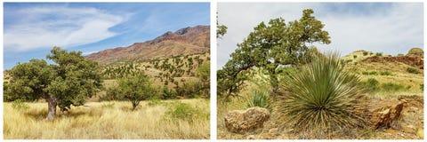 Yucca κολάζ τοπίου δέντρων Mesquite Στοκ Εικόνες