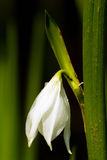 yucca λουλουδιών Στοκ Εικόνα
