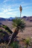 Yucca που ανθίζει στην έρημο στοκ φωτογραφία