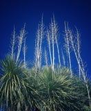 Yucca που φθάνει προς τον ουρανό Στοκ φωτογραφία με δικαίωμα ελεύθερης χρήσης