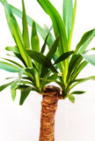 Yucca. House garden plant Ucca on a white background Stock Photos