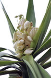 Yucca. Detail of Yucca flowers and foliage isolated over white Stock Photography