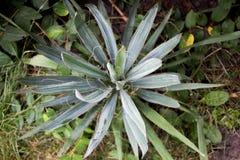 yucca royalty-vrije stock foto's