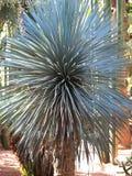 Yucca Fotografia Stock
