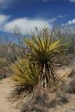 Yucca Stockbild