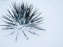 yucca Στοκ φωτογραφία με δικαίωμα ελεύθερης χρήσης