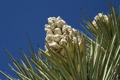 yucca Arkivfoton