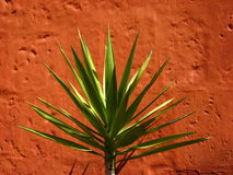 Yucca. S are a type of plant in the agave family that typically live in desert conditions Royalty Free Stock Images