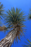Yucca Stock Photography