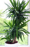yucca royaltyfri fotografi