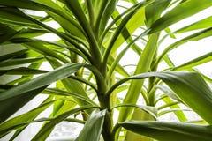 yucca στοκ φωτογραφίες