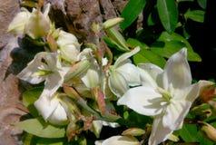 yucca Royaltyfri Foto