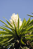 Yucca aloifolia. Spanish bayonet tree Latin name Yucca aloifolia stock images