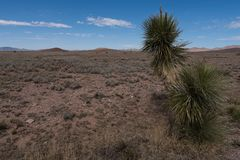 Yucca along highway 27, New Mexico royalty free stock photography