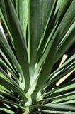 Yucca-Anlage Lizenzfreie Stockfotografie