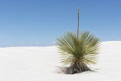 Yucca-Anlage an den weißen Sanden Stockfotos