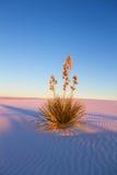 Yucca au coucher du soleil Photo stock