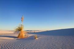 Yucca bij Zonsondergang Royalty-vrije Stock Afbeelding
