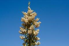 Yucca in bloei stock foto