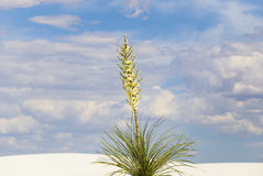 Yucca in bloom. A yucca in bloom growing in the dunes of White Sands National Monument in New Mexico, USA Royalty Free Stock Image