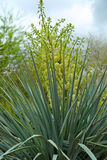 Yucca Royalty Free Stock Photography