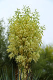 Yucca. Blooming evergreen yucca cactus plant stock photography