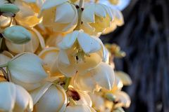 Yucca Blossoms Stock Photo