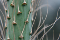 Yucca-Blumen-Spitzen-Stamm Stockfoto