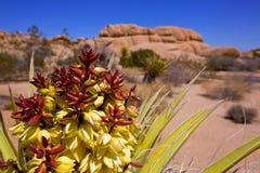 Yucca brevifolia Blumen in Joshua Tree National Park Lizenzfreie Stockfotos