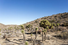 Yucca Brevifolia in Desert. Lots of Yucca Brevifolia or Joshua Trees in the desert Stock Photo