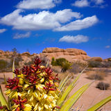 Yucca brevifolia flowers in Joshua Tree National Park Stock Image
