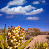 Yucca brevifolia flowers in Joshua Tree National Park Royalty Free Stock Images