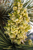 Yucca brevifolia flowers in Joshua Tree National Park Stock Photography