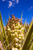 Yucca brevifolia flowers in Joshua Tree National Park Royalty Free Stock Photo